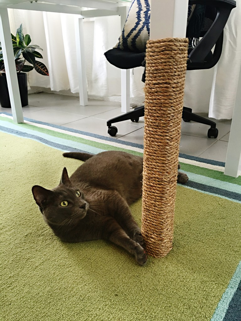 Cat playing under table and scratching hemp string around leg.