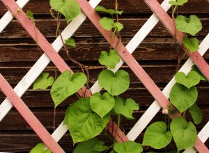 Green leaves on a wooden lattice