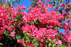 bouganvillea flower as very nice natural background