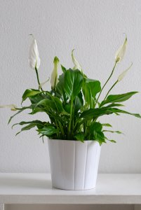 White pot with leafy plant Peace Lily