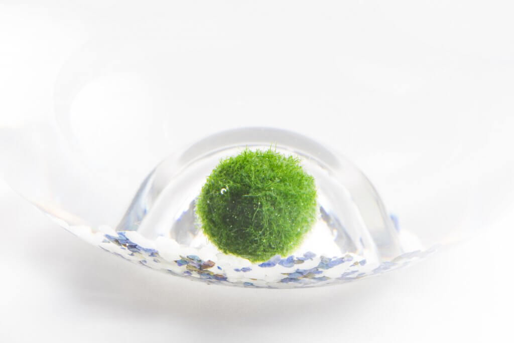 japanese marimo mossball green algae in glass of water