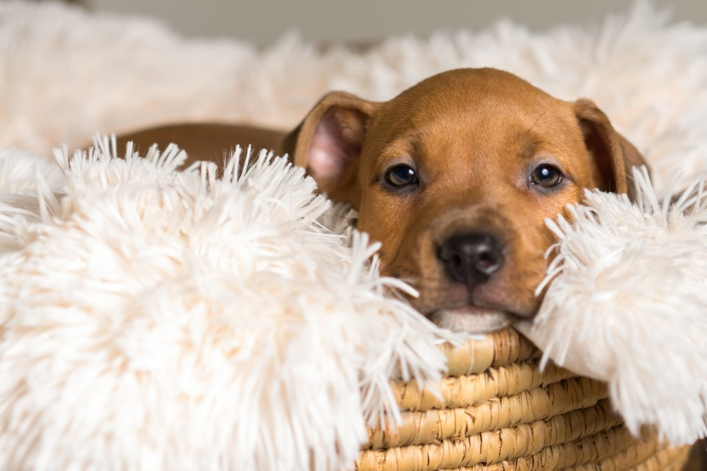 Mix breed tan brown puppy canine dog lying down on soft white blanket in basket looking happy, pampered, hopeful, sweet, friendly, cute, adorable, spoiled